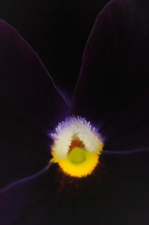Dark Purple Pansy Violet Flower Macro photo