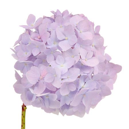 airiness: Beautiful Light Purple Hydrangea Flowers on White Background