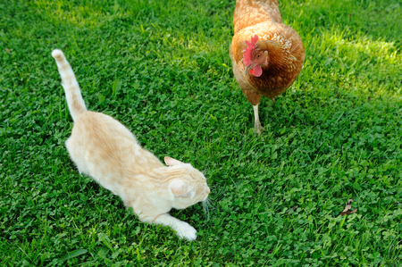 red hen: Cat Attacked by Chicken