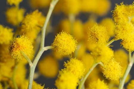 mimosa: Acacia  Mimosa  with Yellow Flowers Close-Up Stock Photo