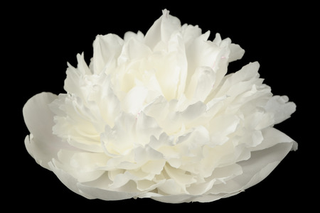 White Peony Flower on Black Background photo