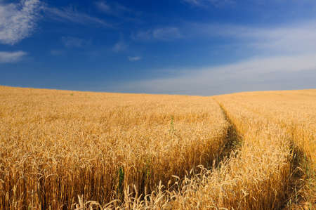 Ripening Golden Ears of Wheat in the Field Under Blue Sky photo