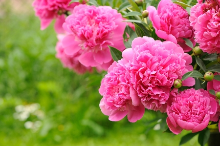 beautiful garden: Blooming Peony Bush with Pink Flowers in the Garden