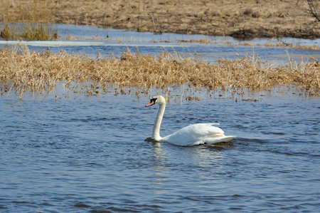 White Swan Swimming in the Lake photo
