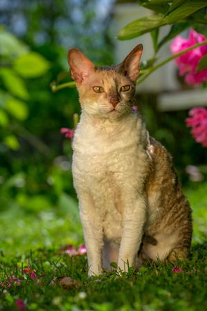 cornish rex: Cornish Rex Cat with Curly Hair Outdoors