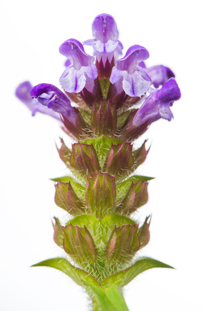 prunella: Prunella (Self-Heal) Fiore Close-up su sfondo bianco