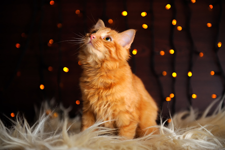 Cute Fluffy Red Kitten photo