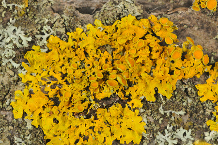 golden shield: Golden Shield Lichen Close-Up on Tree Bark