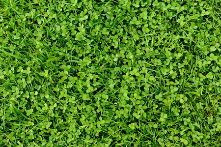 three leafed: Green Grass and Shamrock Leaves Background Stock Photo