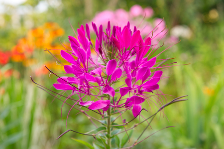 flower bed: Pink Cleome Growing on Flower Bed