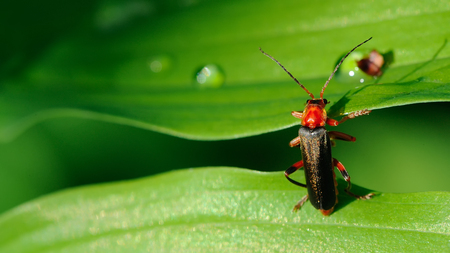 cantharis: Soldier Beetle Climbing a Leaf (16:9 Aspect Ratio)