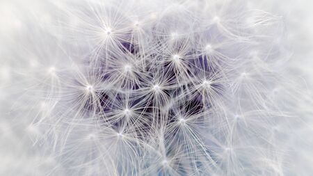 White Dandelion Flower Parachutes Macro (16:9 Aspect Ratio) photo