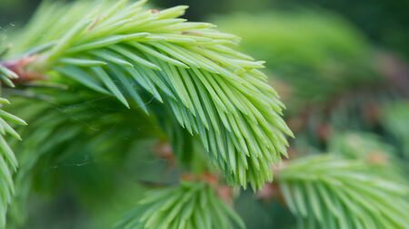 aspect: New Green Spruce Branches (16:9 Aspect Ratio)