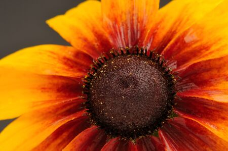 coneflower: Rudbeckia (Coneflower) Close-Up