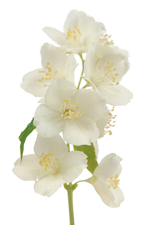 hoary: Hoary Mock Orange (Philadelphus Pubescens) Flowers on White Stock Photo