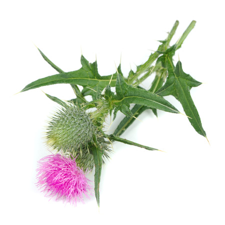 thistle plant: Milk Thistle (Silybum Marianum) with Flower Isolated on White Background