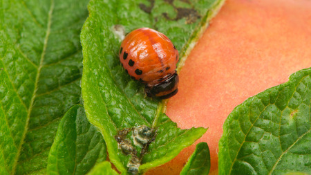 larva: Colorado Potato Beetle Larva Eating Potato Leaf