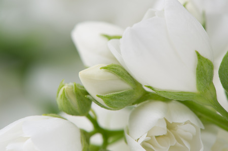 philadelphus: Beautiful White Jasmine Flowers Macro