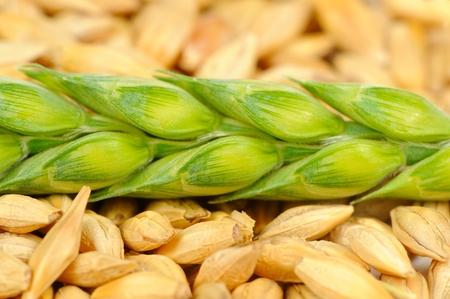 pearl barley: Barley Grains and Green Ear Macro Stock Photo