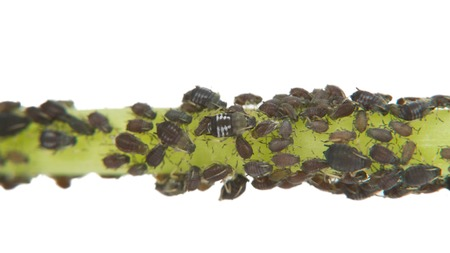 wingless: Black Aphid Infestation
