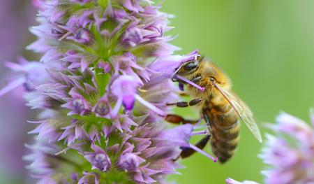 flores moradas: Abeja de polinizaci�n de la flor Prunella