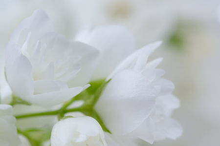 philadelphus: Romantic White Jasmine Flowers Stock Photo