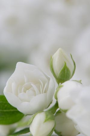 philadelphus: Elegant White Jasmine Flowers