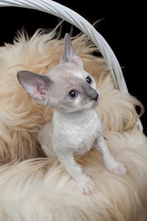 housecat: Cute Little Cornish Rex Kitten in Basket with Fur