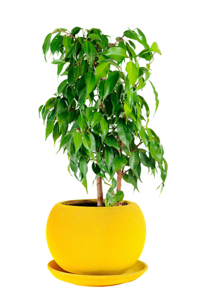 Weeping Fig (Ficus Benjamina) in Pot Isolated on White Background Archivio Fotografico