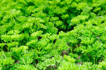 Green Curly Parsley Stock Photo