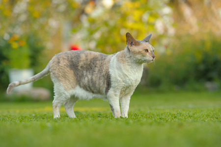 A cute adult Cornish Rex cat on a green lawn in summer Stock Photo