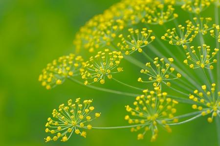 ディル散形花序のクローズ アップ 写真素材
