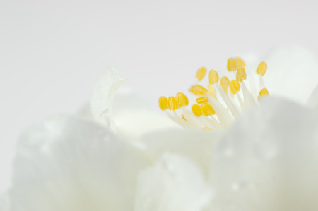 philadelphus: Beautiful White Jasmine Flowers Macro With Copy Space