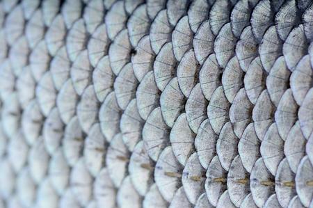 rutilus: Roach Fish Scales Macro