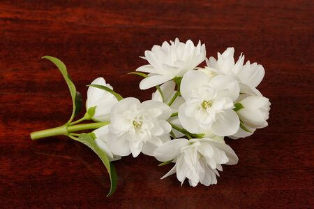 Branch of Jasmine Flowers on Wood Background