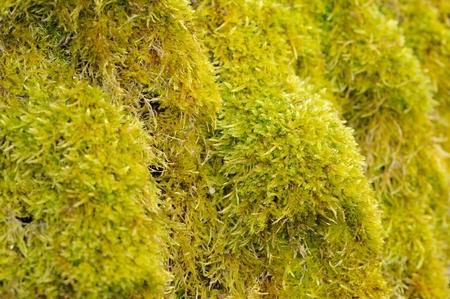 hassock: Green Moss Macro