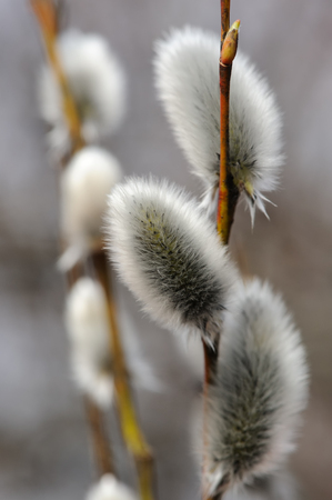 sallow: Springtime Catkins Stock Photo
