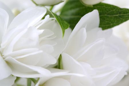 White Jasmine Flowers Macro Stock Photo
