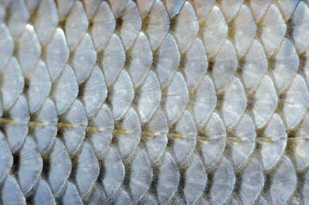textura: Reale Roach scale di pesci Sfondo