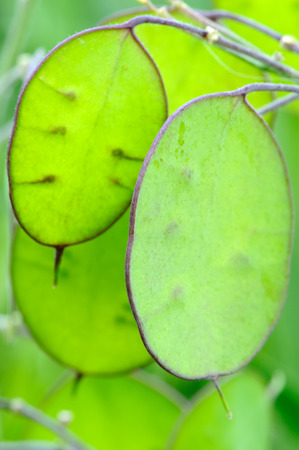 Lunaria Annua (Honesty) Seedpod