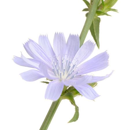 Chicory Flower on White Background Stock Photo