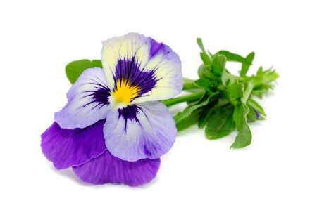 Pansy Violet Flower Isolated on White Background Stock Photo