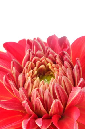 Red Dahlia Closeup on White Background with Copy Space Stock fotó