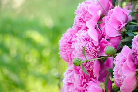 Blooming Peony Bush with Pink Flowers and Copy Space Stock fotó