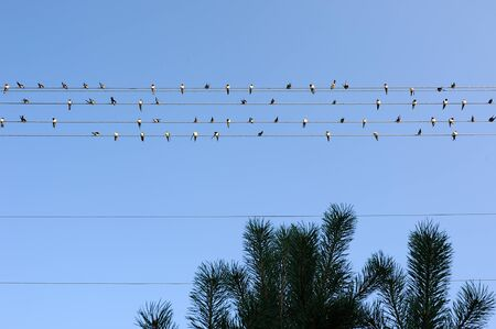 A flock of barn swallows perched on power lines against a blue sky