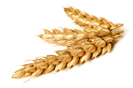 Golden wheat on white background. Close up of ripe ears of wheat plant.
