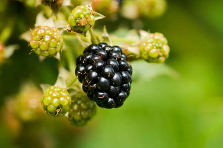 Natural food - fresh blackberries in a garden. Bunch of ripe blackberry fruit - Rubus fruticosus - on branch with green leaves on a farm. Close-up, blurred background.