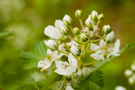 Blooming flowers of Blackberry in the garden. Bunch of fresh white flowers - Rubus fruticosus - on branch with green leaves growing on a farm. Close-up, blurred background. Фото со стока