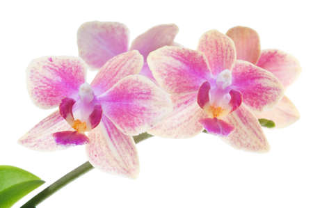 Beautiful bouquet of pink orchid flowers. Bunch of luxury tropical magenta orchids - phalaenopsis - isolated on white background. Studio shot.