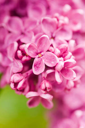 Detail of blooming pink lilac flower background. Close-up of luxury fresh blooming magenta lilac flower with drops of water.